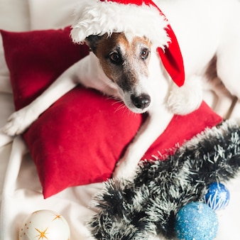 Śliczny jack russel terrier z boże narodzenie dekoracją