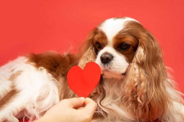 Śliczny kochanek valentine cavalier king charles spaniel z czerwonym sercem