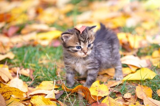 Śliczny kociak w paski chodzi po opadłych liściach w jesiennym ogrodzie