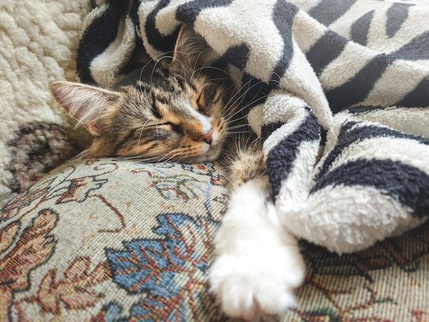 Śliczny kociak w paski, leżący przykryty kocem na łóżku podczas snu