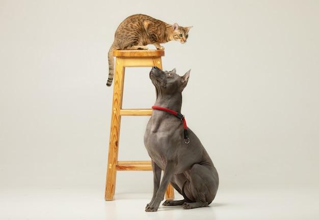 Śliczny kot i pies na białej ścianie puszyści przyjaciele thai ridgeback i serengeti cat