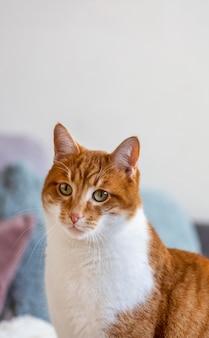 Śliczny kot z czerwono-białym futrem