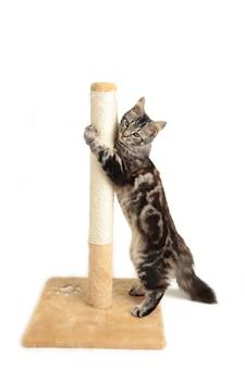 Śliczny kotek bawi się drapakiem na białym tle na białym tle. maine coon