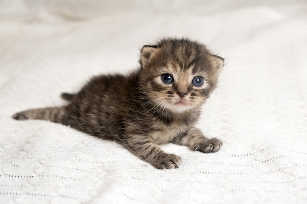 Śliczny kotek brytyjski krótkowłosy w paski leżący na białym kocu