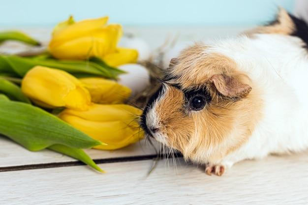 Śliczny królik doświadczalny obok easter jajek i żółtych świeżych tulipanów nad drewnianym stołem z błękitnym tłem