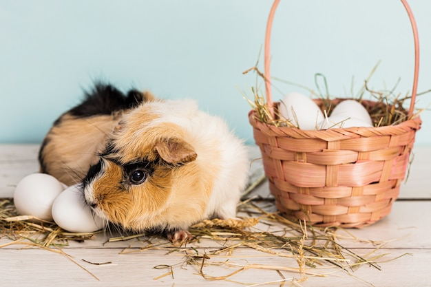 Śliczny królik doświadczalny obok słomianego różowego kosza wypełniał easter jajka i siano nad drewnianym stołem z błękitnym tłem