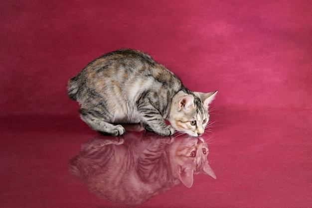 Śliczny kurylski bobtail rasowy szary pręgowany kotek
