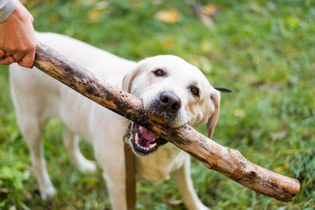 Śliczny labrador bawić się przynosi plenerowego