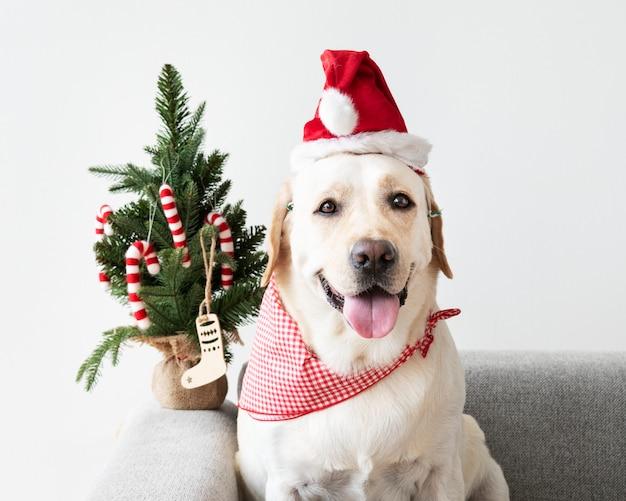 Śliczny labrador retriever jest ubranym bożenarodzeniowego kapelusz