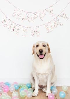 Śliczny labrador retriever przy przyjęciem urodzinowym