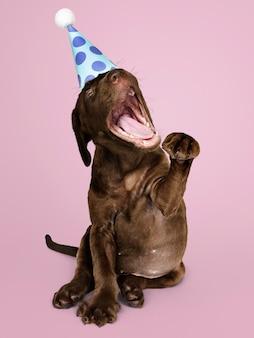 Śliczny labrador retriever szczeniak jest ubranym partyjnego kapelusz