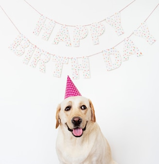 Śliczny labrador retriever z partyjnym kapeluszem przy przyjęciem urodzinowym