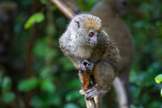 Śliczny lemur katta w naturze