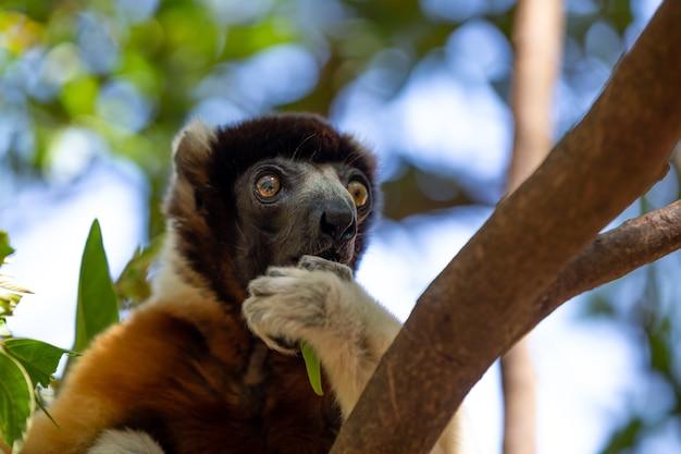 Śliczny lemur sifaka na drzewie