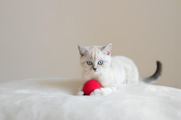 Śliczny leżący beżowy niebieskooki szkocki kotek z czerwoną kulką na futrzanym materiale i beżowym tle