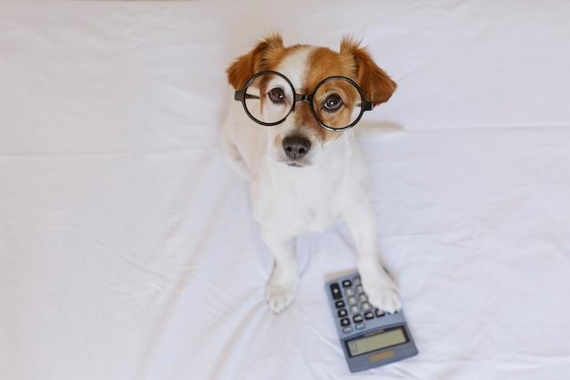 Śliczny małego psa księgowy myśleć i kalkuluje z kalkulatorem na łóżku