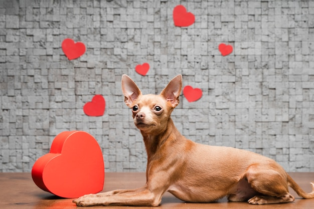 Śliczny mały chihuahua pies otaczający sercami