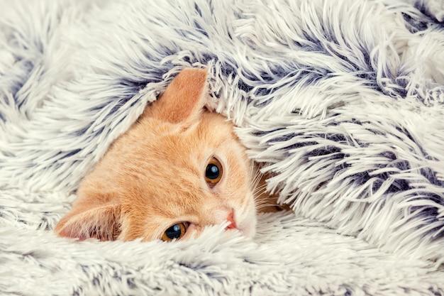 Śliczny mały czerwony kotek wyglądający spod miękkiego ciepłego niebieskiego koca