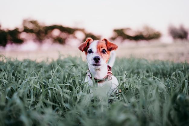 Śliczny mały dźwigarki russell pies w wsi pozyci wśród zielonej trawy. w brązowej skórzanej smyczy i kołnierzu