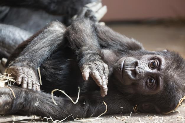 Śliczny mały goryla dziecko odpoczywa na ziemi