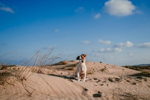Śliczny mały jack russell pies przy wydmy plażą