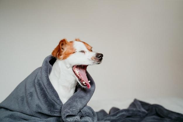 Śliczny mały jack russell pies siedzi na łóżku i ziewa, przykryty szarym kocem