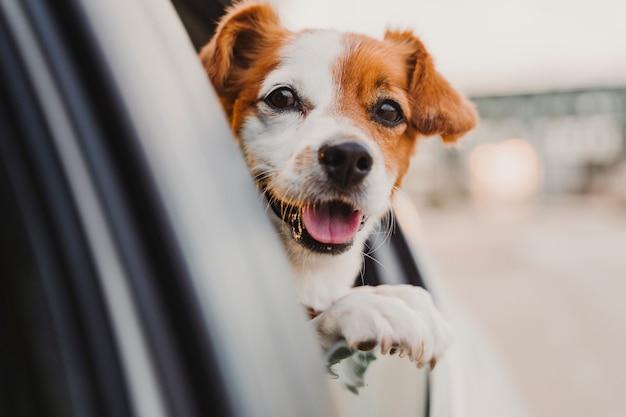 Śliczny mały jack russell pies w samochodowym dopatrywaniu przy okno