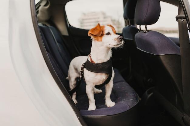 Śliczny mały jack russell pies w samochodzie na sobie bezpieczne szelki i pas bezpieczeństwa