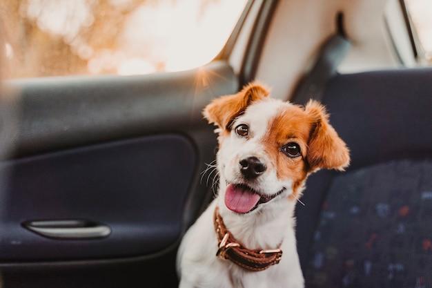 Śliczny mały jack russell pies w samochodzie przy zmierzchem tylny światło.