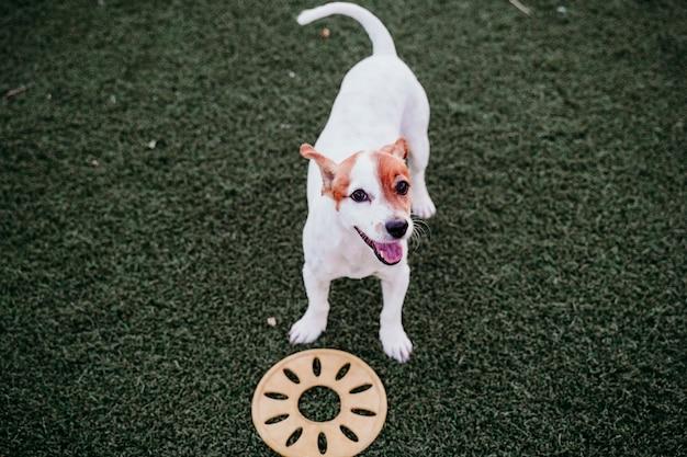 Śliczny mały jack russell terrier pies bawić się outdoors z kolor żółty zabawką. szczęśliwy pies o zachodzie słońca. zwierzęta na zewnątrz