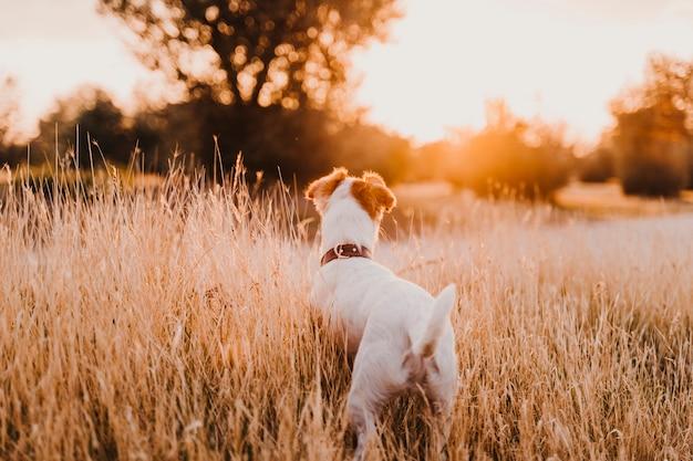 Śliczny mały jack russell terrier pies przy zmierzchem w polu. złota godzina. zwierzęta i zabawa na świeżym powietrzu