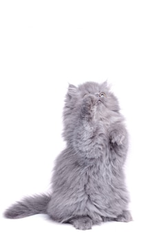 Śliczny mały kotek na tylnych łapach