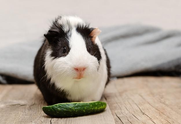 Śliczny mały królik doświadczalny je świeżego ogórek