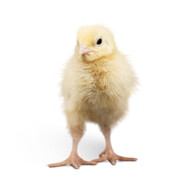 Śliczny mały kurczak na białym tle