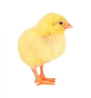 Śliczny mały kurczak odizolowywający na białym tle