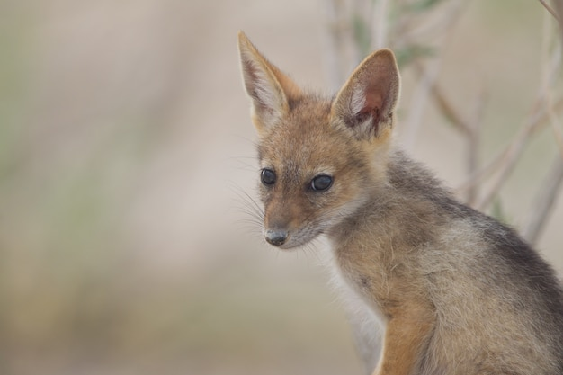 Śliczny mały lis piaskowy schwytany na środku pustyni
