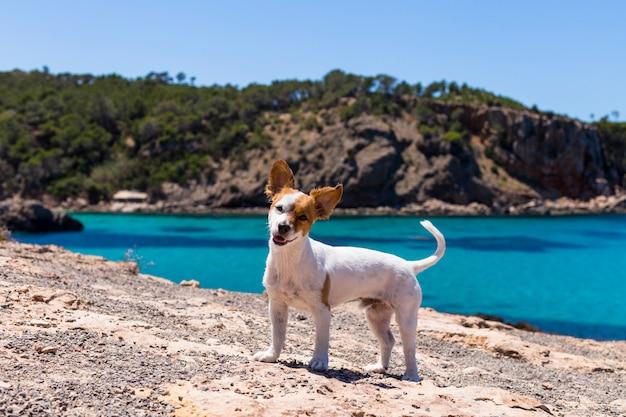 Śliczny mały pies ma zabawę w ibiza z pięknym wodnym tłem. koncepcja lato i wakacje. śmieszne uszy.