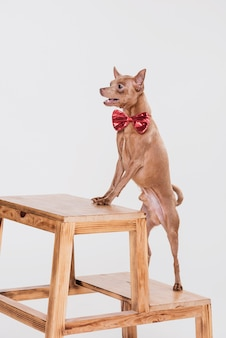 Śliczny mały pies na drabinie