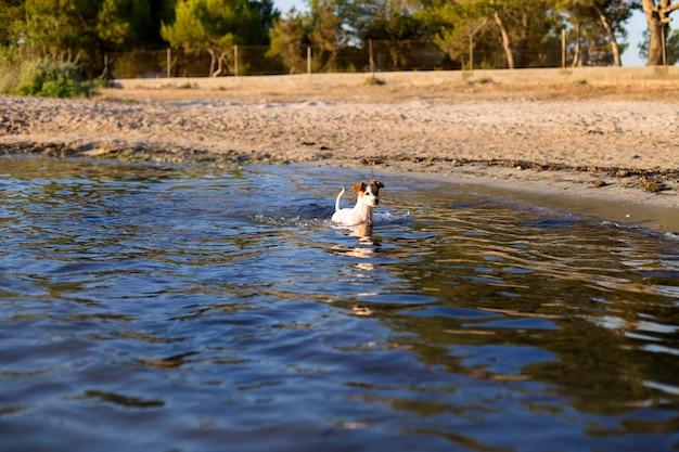 Śliczny mały pies pływa i ma zabawę przy brzeg w ibiza pięknej wodzie. koncepcja lato i wakacje