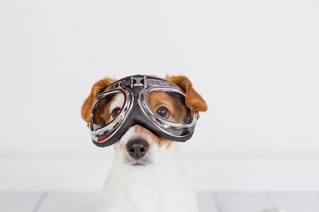 Śliczny mały pies siedzi na podłodze i ma na sobie śmieszne okulary lotnika. zwierzęta w domu. zabawa w domu, koncepcja podróży. biała ściana