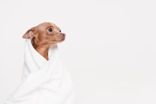 Śliczny mały pies siedzi w ręczniku