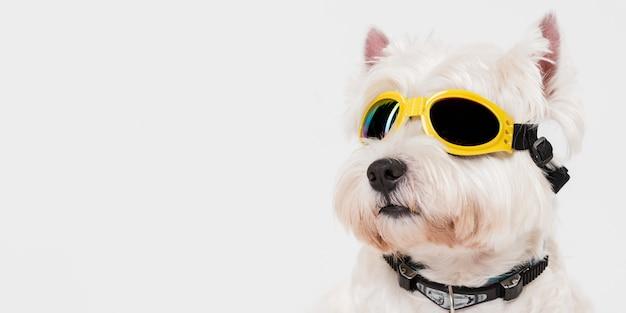 Śliczny mały pies w okularach