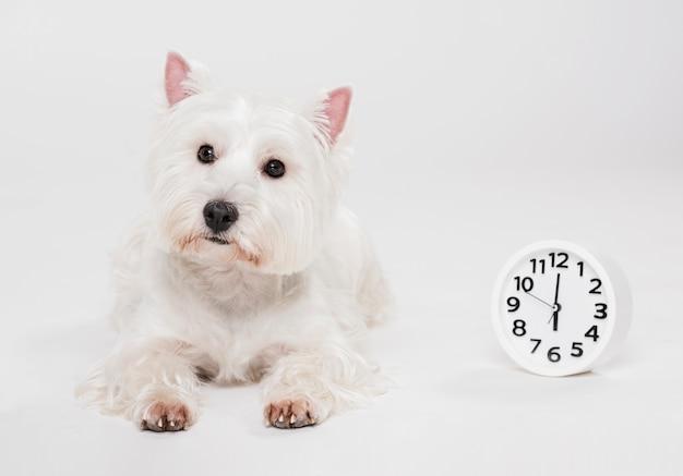 Śliczny mały pies z zegarem