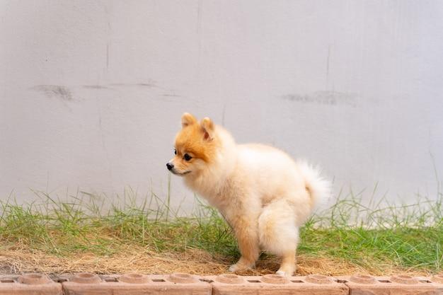 Śliczny mały pomorski pies wyskakujący z przygotowanego obszaru.