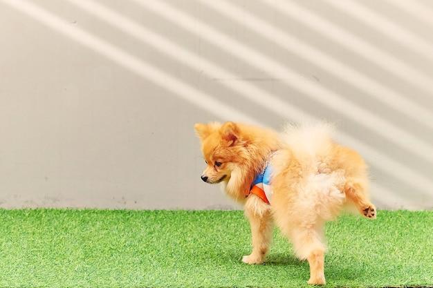 Śliczny mały pomorzanki pies sika w parku