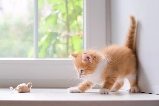 Śliczny mały puszysty czerwony kotek z zabawkową myszką