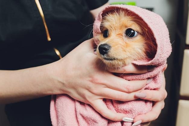 Śliczny mały puszysty pomeranian pies w biało-różowym ręczniku po kąpieli, pielęgnacji.