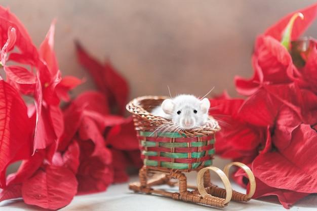 Śliczny mały szary szczur, mysz siedzi na czerwonych saniach z poinsecją. szczur. symbol chiński nowy rok