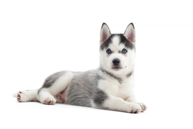 Śliczny mały szczeniak husky syberyjski z niebieskimi oczami leżącymi na białym tle na biały copyspace.