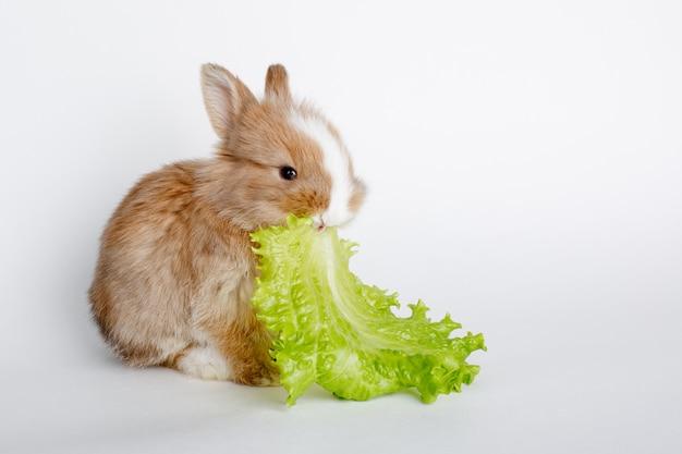 Śliczny mały wielkanocny królik je sałatki liść odizolowywającego na biel przestrzeni